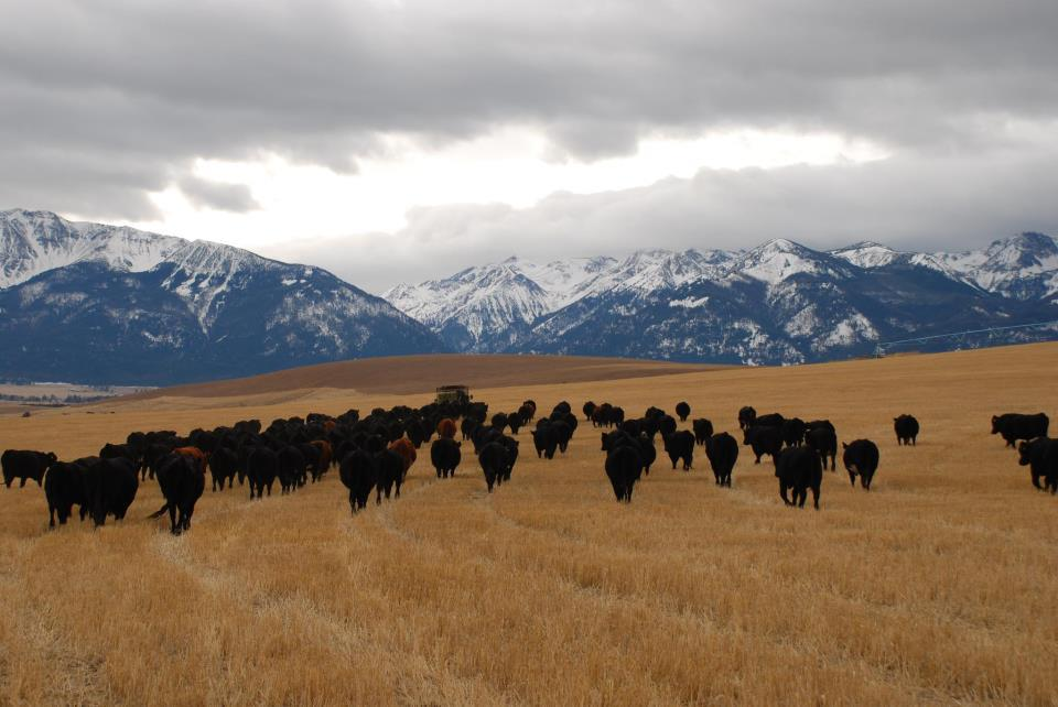 Photo of cows in pasture